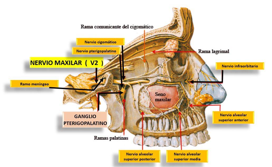 Ramas dentarias o alveolares superiores, posteriores y medias y ...