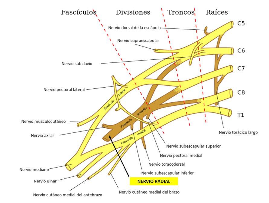 ANATOMÍA DEL NERVIO RADIAL | Dolopedia