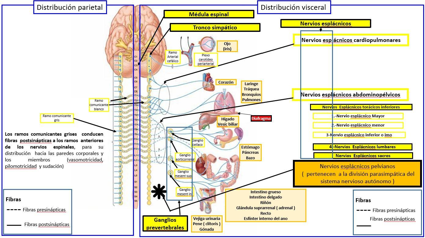 Estructura Del Sistema Nervioso Simpático Dolopedia