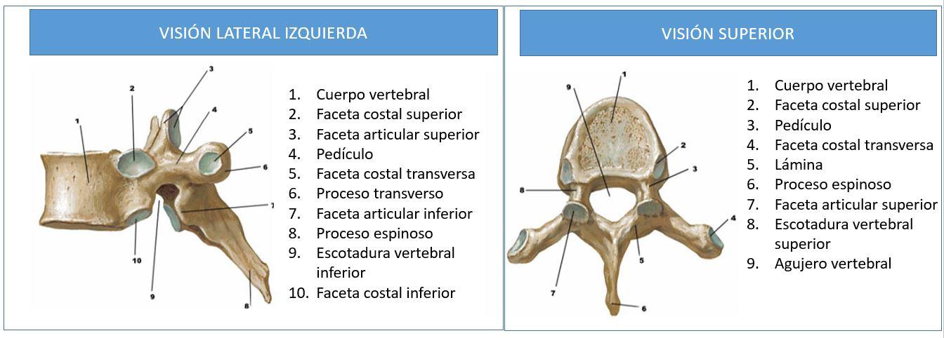 Anatomía de la columna dorsal o torácica | Dolopedia