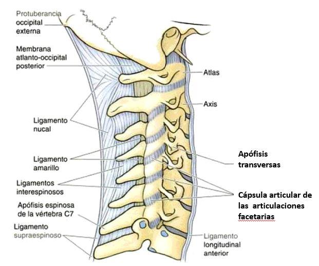 Anatomía de la faceta cervical | Dolopedia