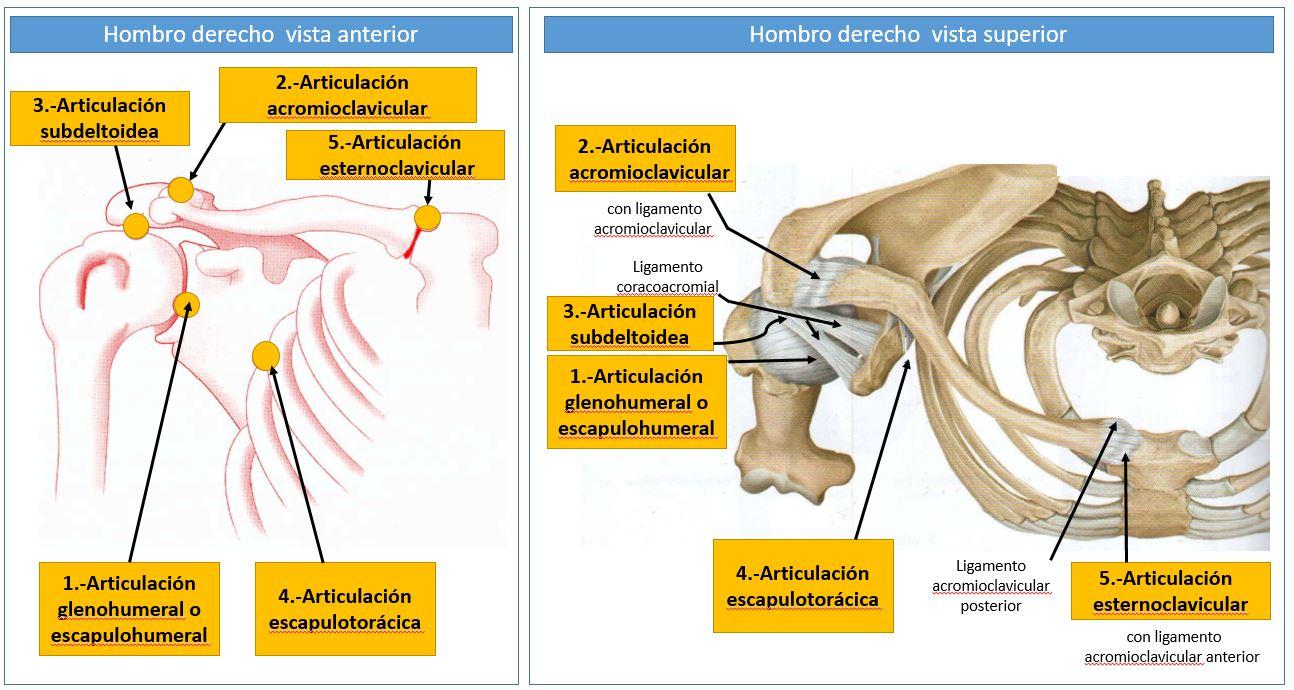 Moderno Hombro Anatomía Conjunta Ppt Ornamento - Anatomía de Las ...