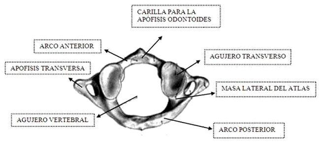 Anatomía de la columna cervical   Dolopedia