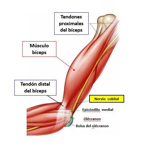 Infiltración del tendón del bíceps | Dolopedia