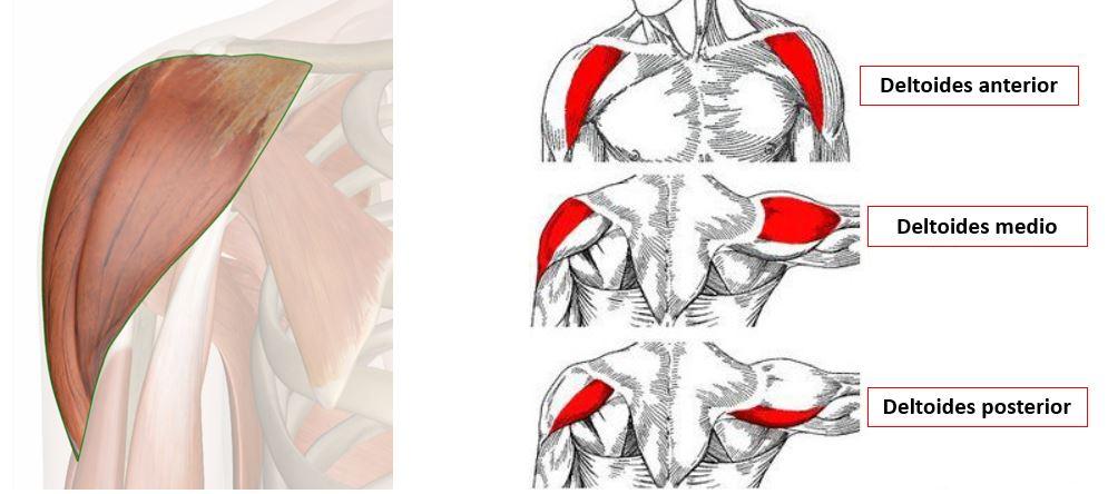 Músculo deltoides | Dolopedia
