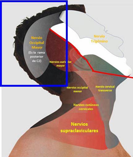 ANATOMÍA DEL NERVIO OCCIPITAL MAYOR | Dolopedia