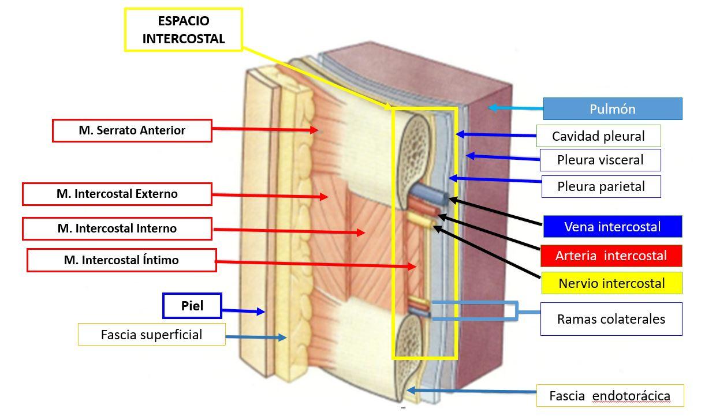 Anatomía del espacio intercostal | Dolopedia