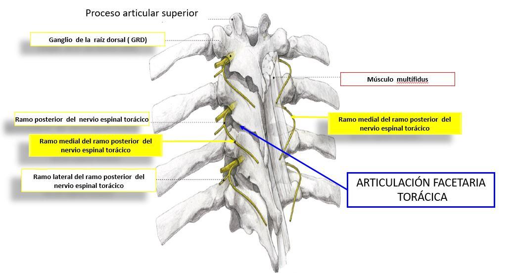 Anatomía de la faceta torácica | Dolopedia