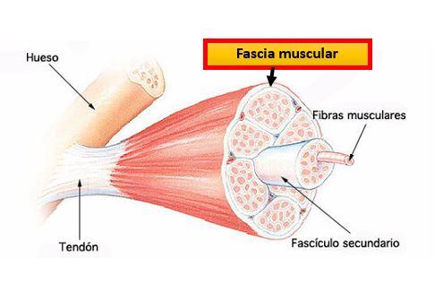 Fascias De La Pared Abdominal Dolopedia