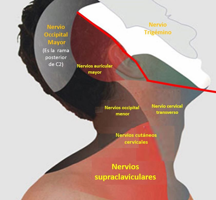 ANATOMÍA DEL PLEXO CERVICAL | Dolopedia