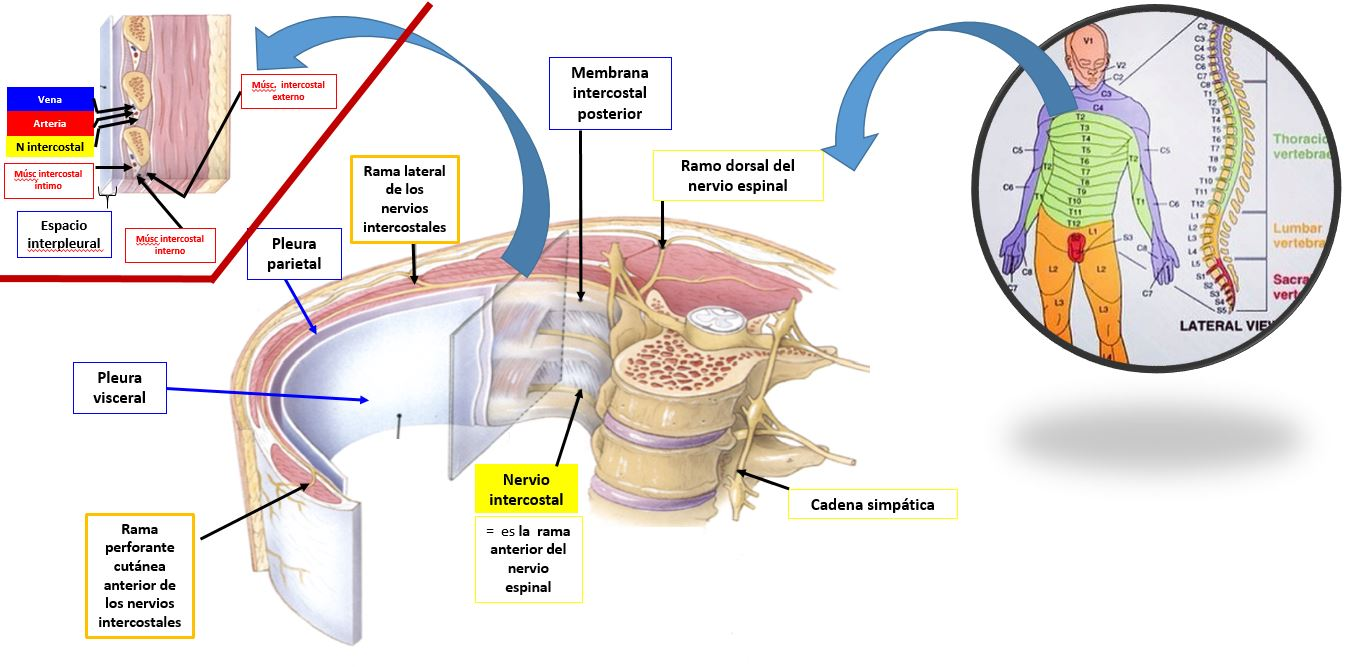 Anatomía de los nervios intercostales | Dolopedia
