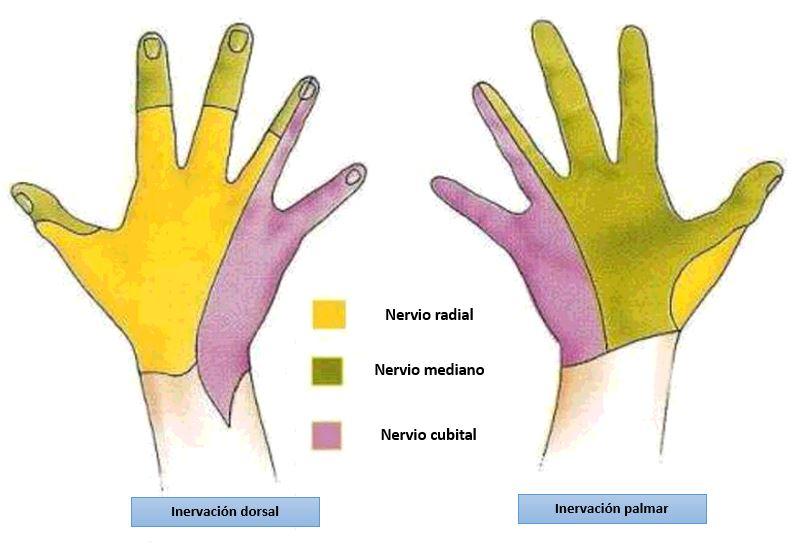 Bloqueo del nervio cubital a nivel de la muñeca | Dolopedia