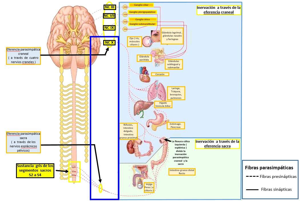 Sistema Nervioso Parasimpático En El Abdomen Dolopedia