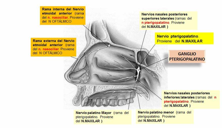 Bloqueo nasal (incluye bloqueo del nervio nasociliar y sus ramas ...