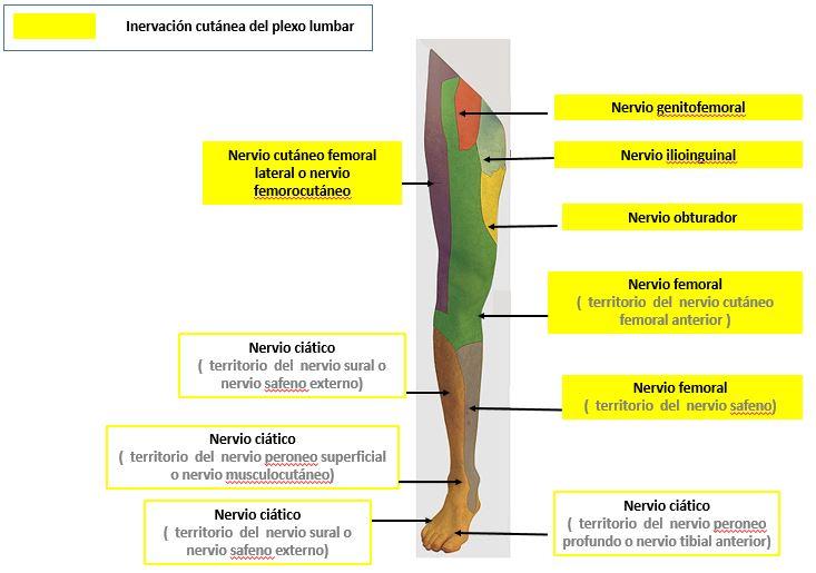 nervios motores del miembro inferior