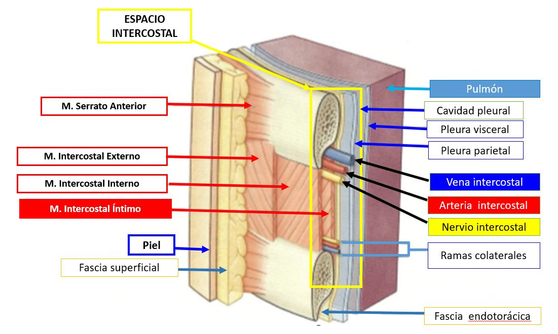 Músculo intercostal íntimo | Dolopedia