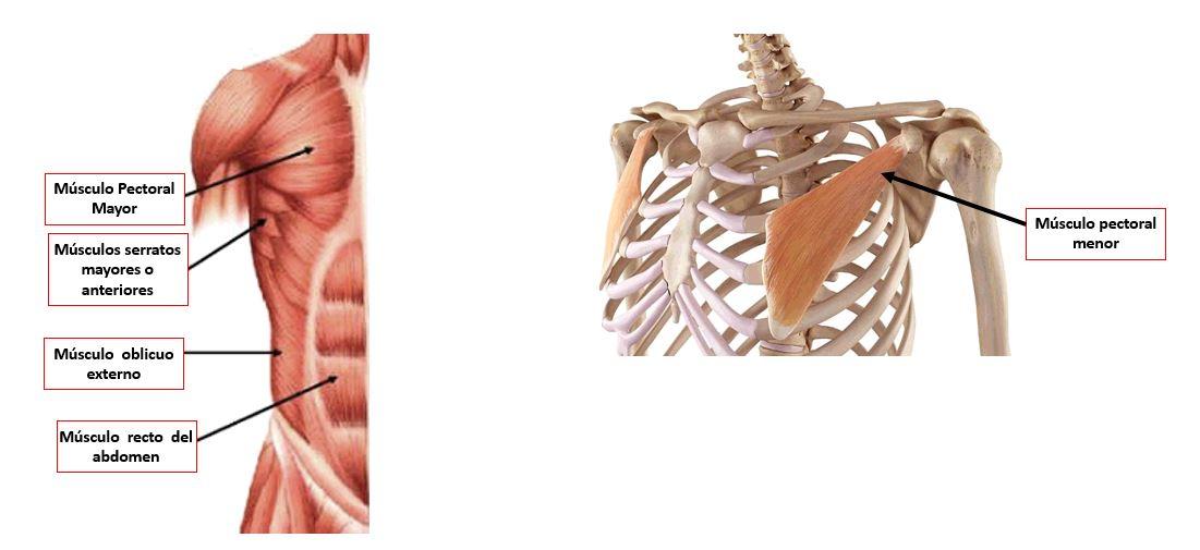 Músculos de la pared torácica anterolateral en el plano superficial ...