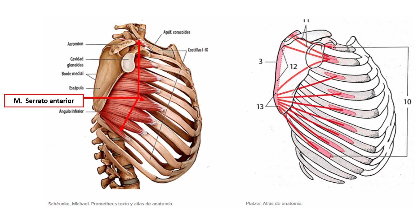 Músculo serrato anterior o músculo serrato mayor | Dolopedia
