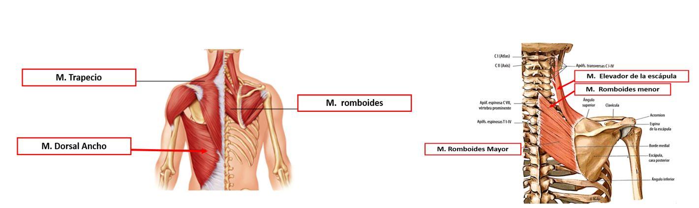 Músculos de la pared torácica posterior en el plano superficial ...