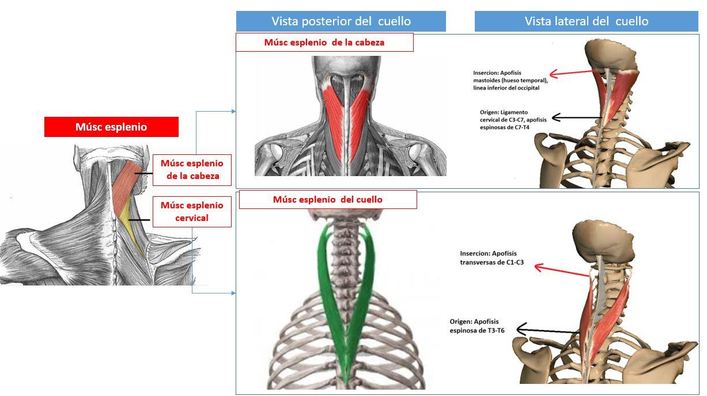 funcion del musculo dorsal ancho