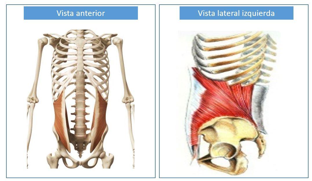 Abdomen transverso musculo del