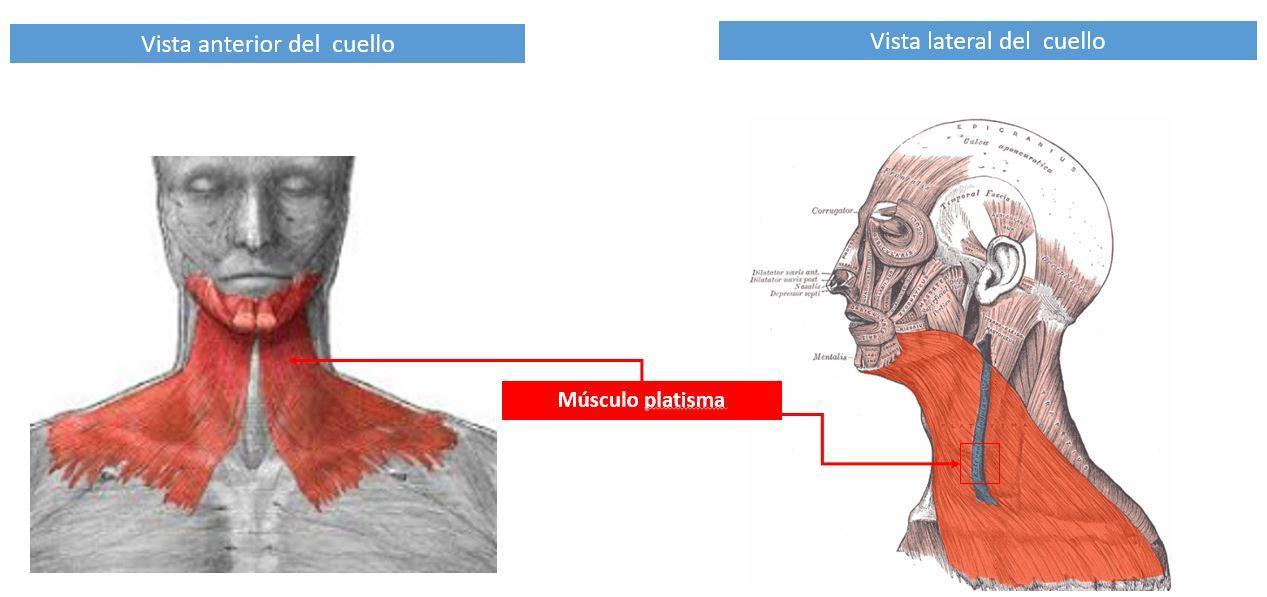 Músculos supraponeuróticos del cuello | Dolopedia