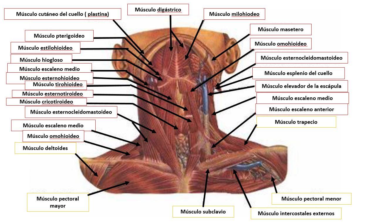 Músculos de la región anterior del cuello | Dolopedia