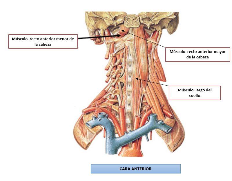 Grupo muscular profundo medio de los músculos del cuello | Dolopedia