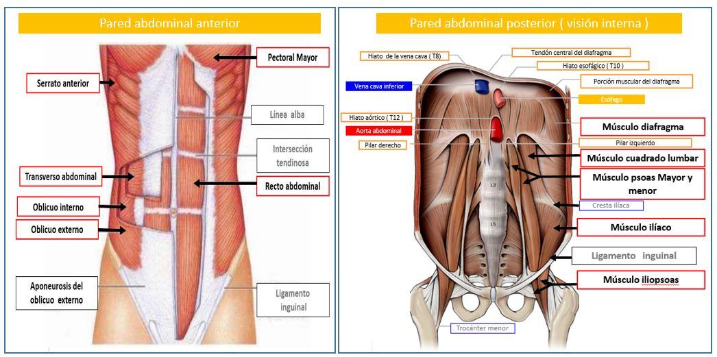 Músculos De La Pared Abdominal Dolopedia