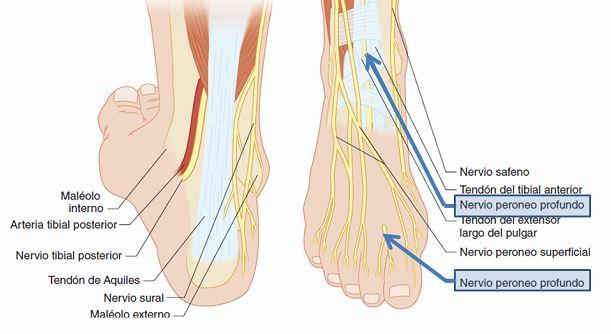 Bloqueo del nervio peroneo profundo o nervio tibial anterior | Dolopedia