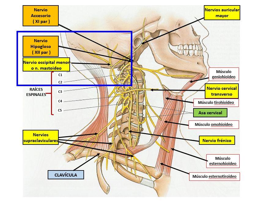 Nervio occipital menor o nervio mastoideo | Dolopedia