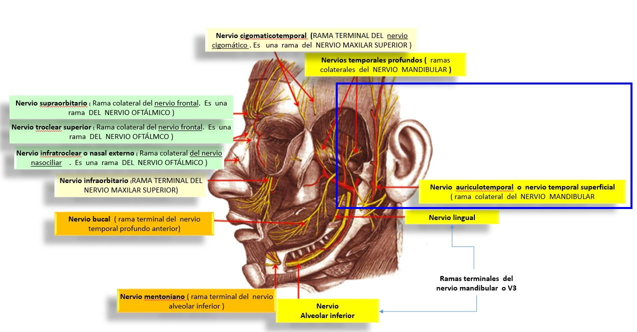 Nervio auriculotemporal o nervio temporal superficial | Dolopedia