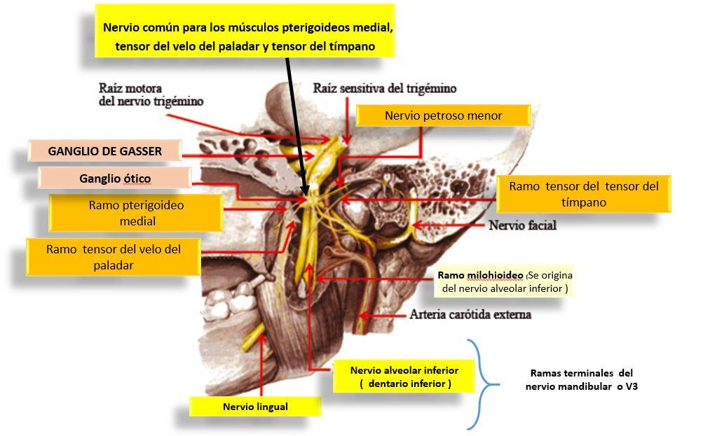 RAMAS COLATERALES Y TERMINALES DEL NERVIO MANDIBULAR O V3 | Dolopedia