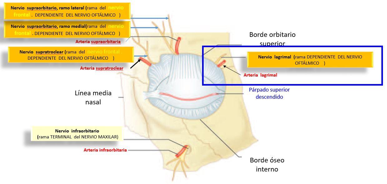 Nervio lagrimal | Dolopedia
