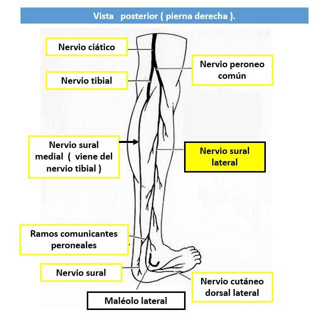 inervacion sensitiva de la pierna
