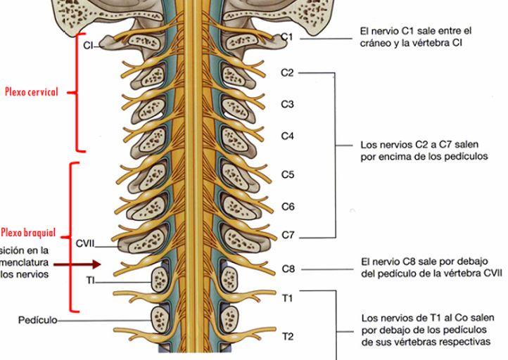 ANATOMÍA RELACIONADA CON EL CUELLO | Dolopedia