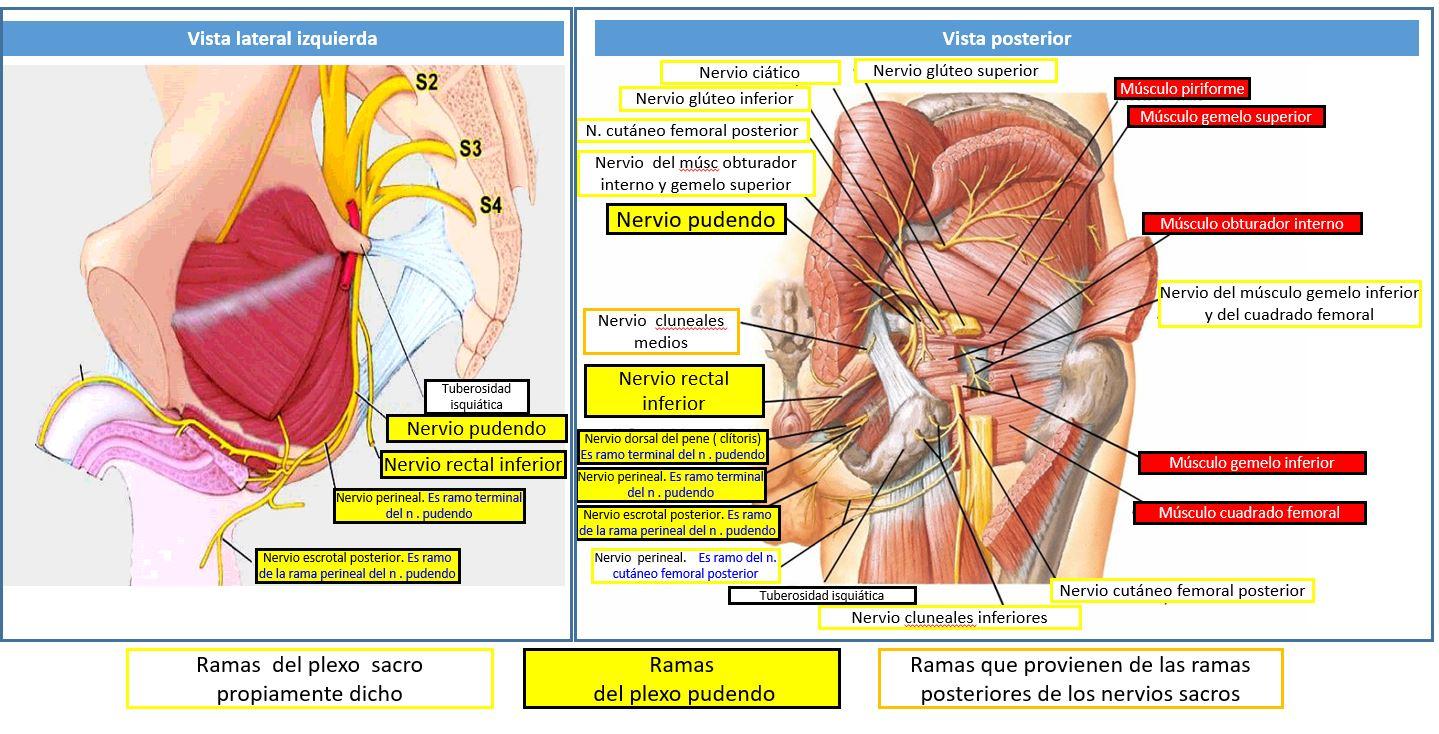 Anatomia de los nervios de la pelvis