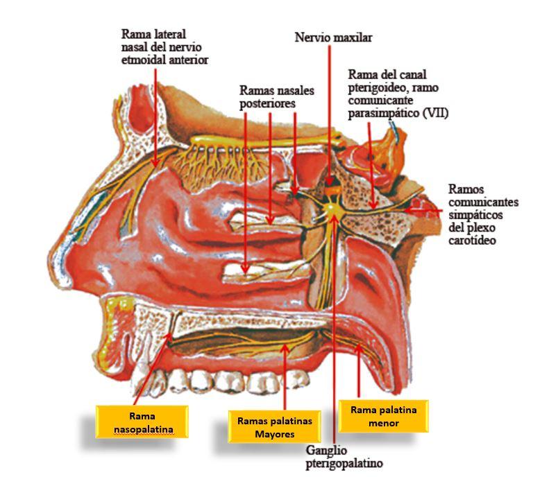 Nervio pterigopalatino o nervio esfenopalatino con sus for Pared lateral de la cavidad nasal