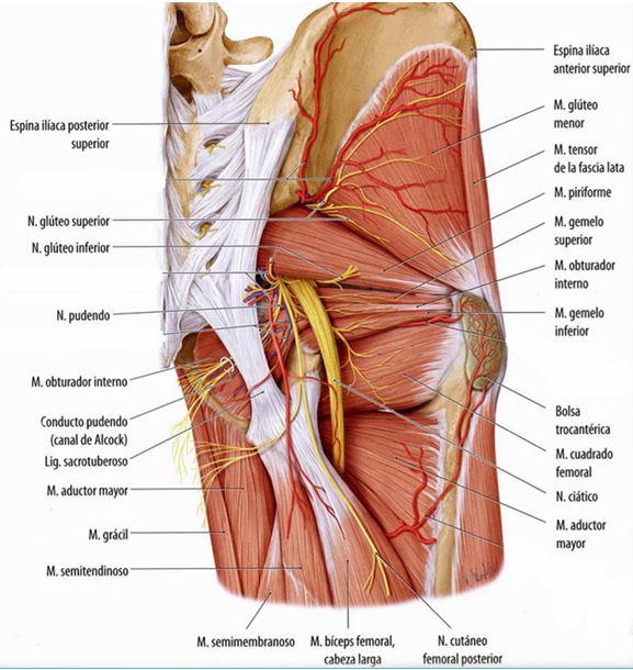 Anatomía del plexo sacro | Dolopedia