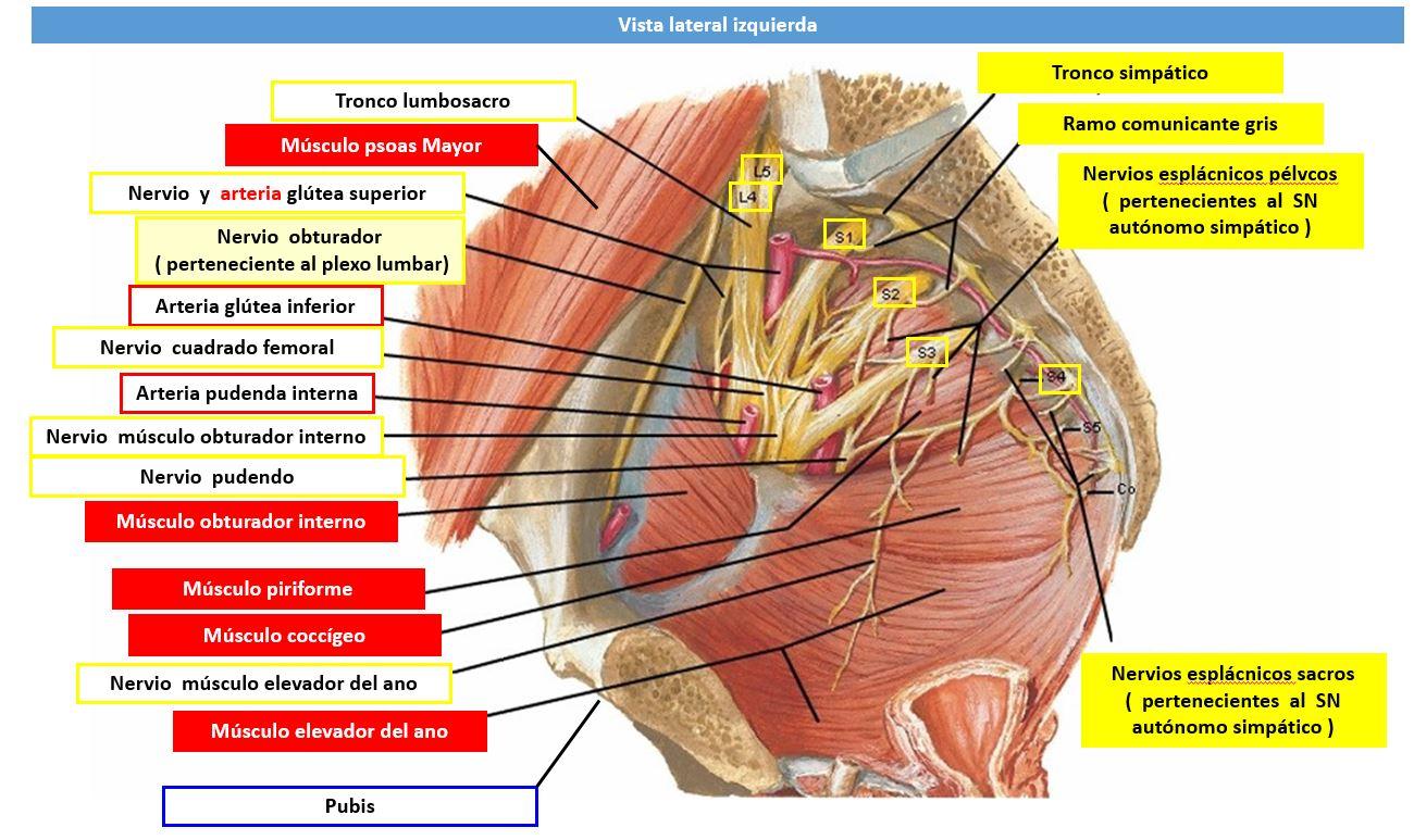 Inervacion del musculo coccigeo