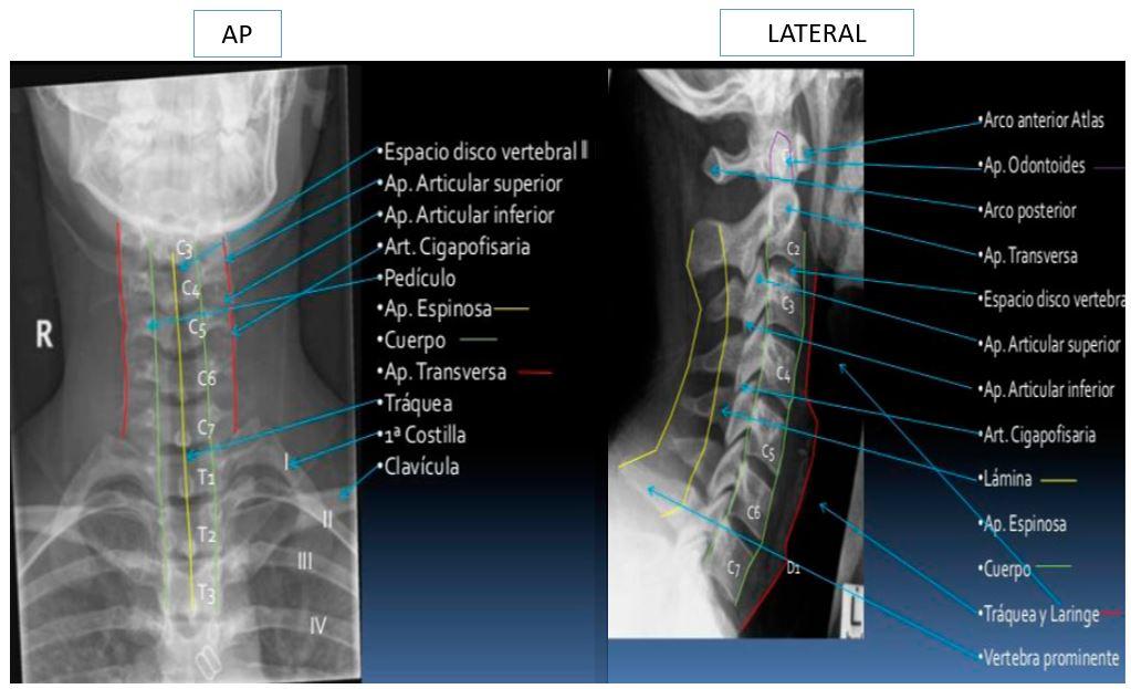 Anatomía de la columna cervical | Dolopedia