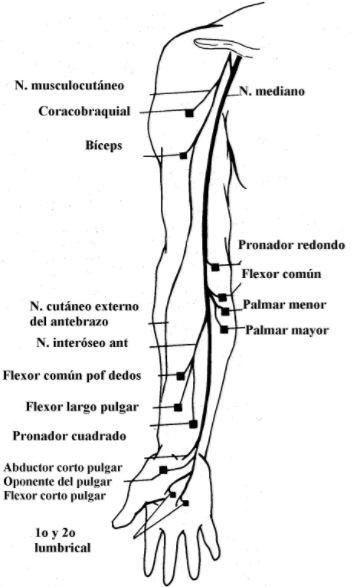 Anatomía del nervio mediano | Dolopedia